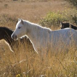 Poneys Dartmoor des Landes du Cragou